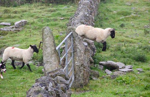 Sheep, Jump, Lamb, Fence, Jumping