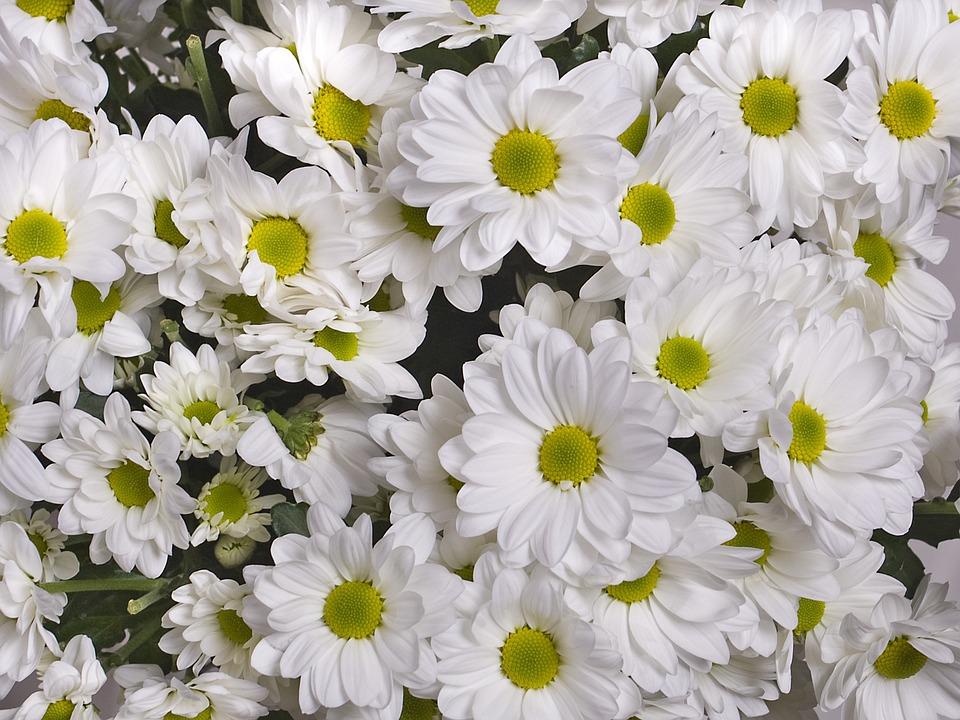 Chrysanthemum white flowers garden free photo on pixabay chrysanthemum white flowers garden flowers mightylinksfo