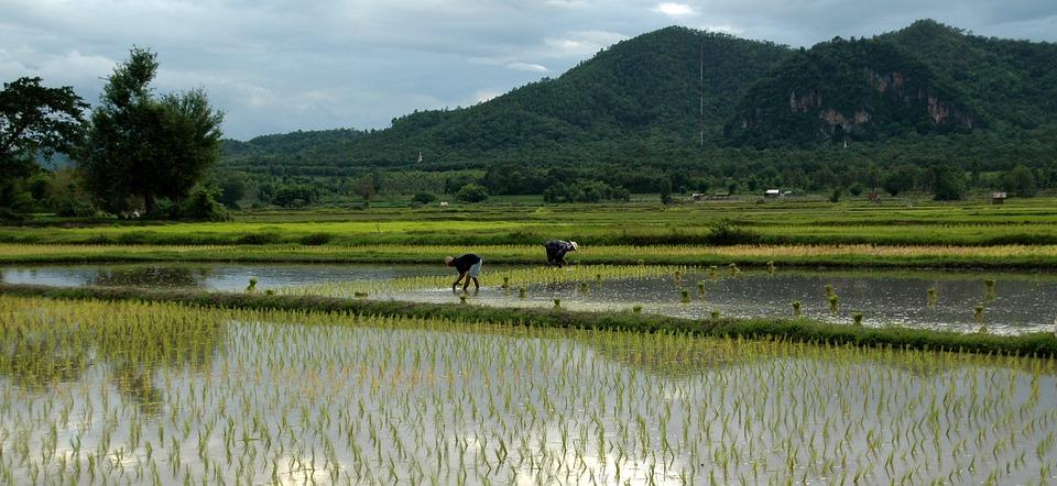 Rice Transplanting Paddy
