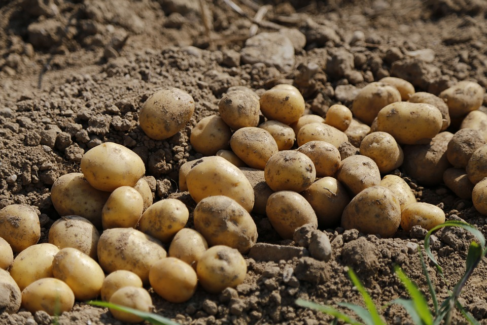 Potato, Agriculture, Food, Eat, Earth, Harvest, Crop