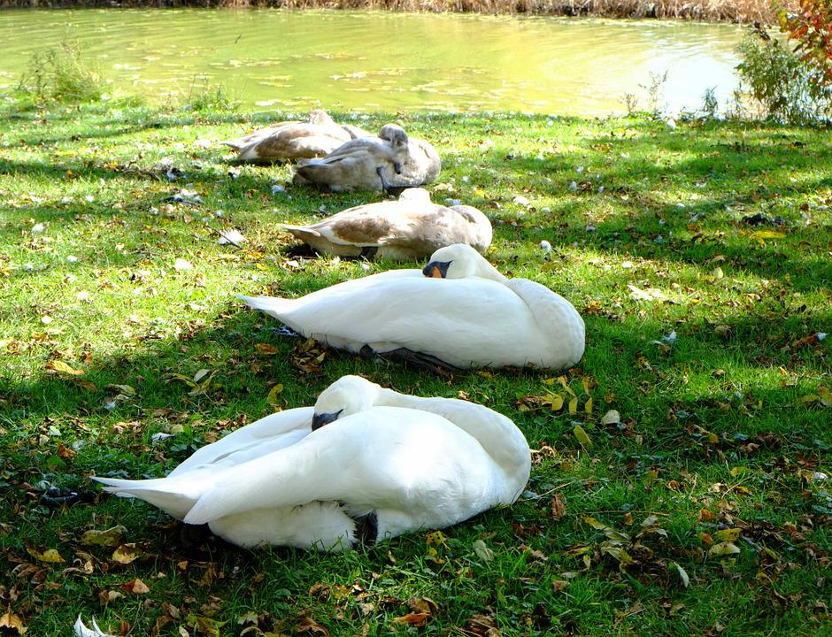 The Sleeping Swans >> Sleeping Swans Young Signets River Free Photo On Pixabay