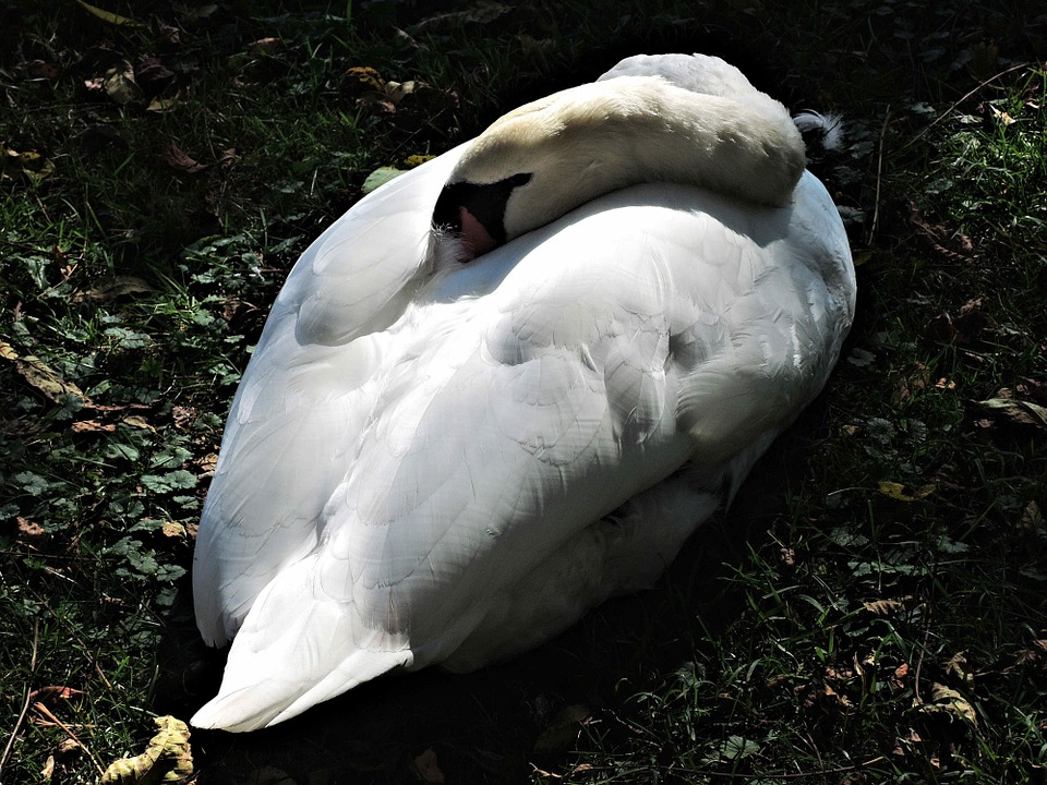 The Sleeping Swans >> Sleeping Swan Wild Bird Nature Free Photo On Pixabay