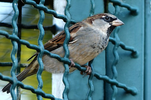 Bird, Sparrow, Passer Domesticus, Grid