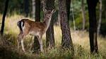 fallow deer, dama dama, female