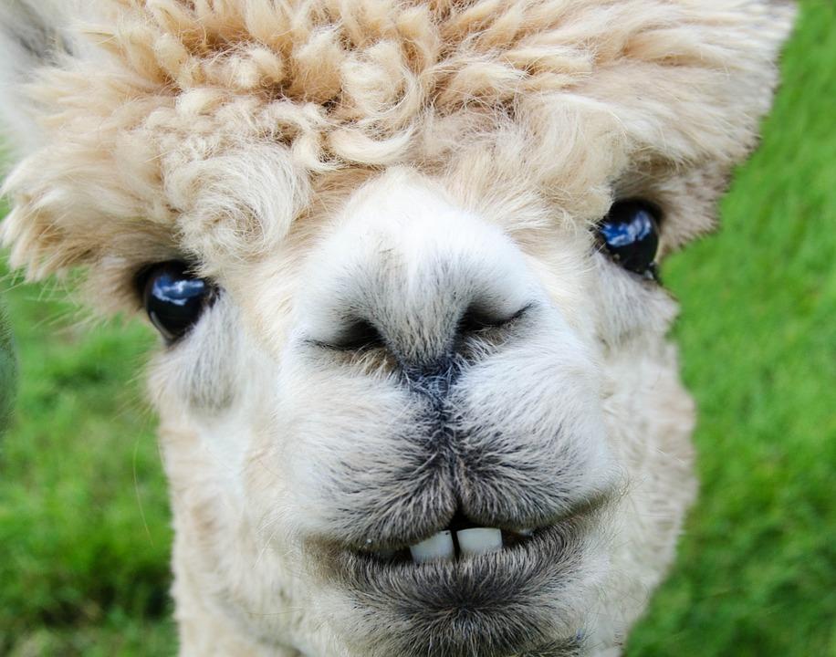 Afbeeldingsresultaat voor alpaca smile