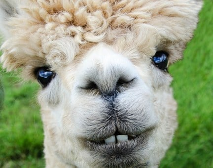 Alpaca, Smile, Teeth, Fur, Funny, Farm