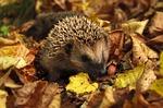hedgehog, autumn, garden