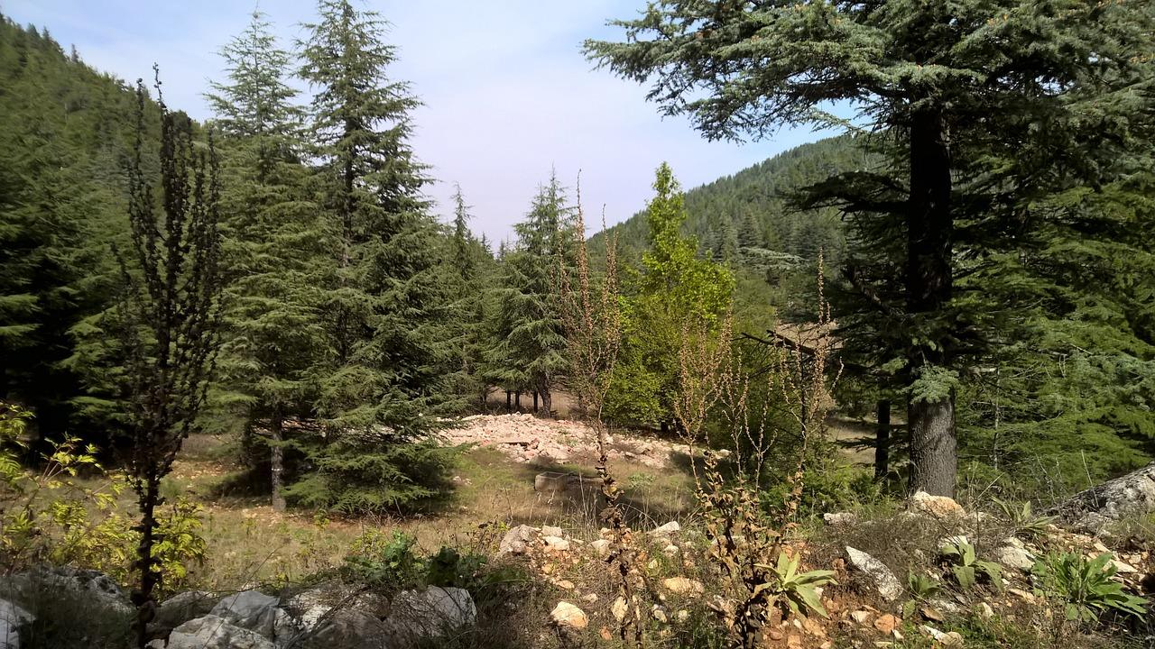 Pine Tar Tree - Free photo on Pixabay