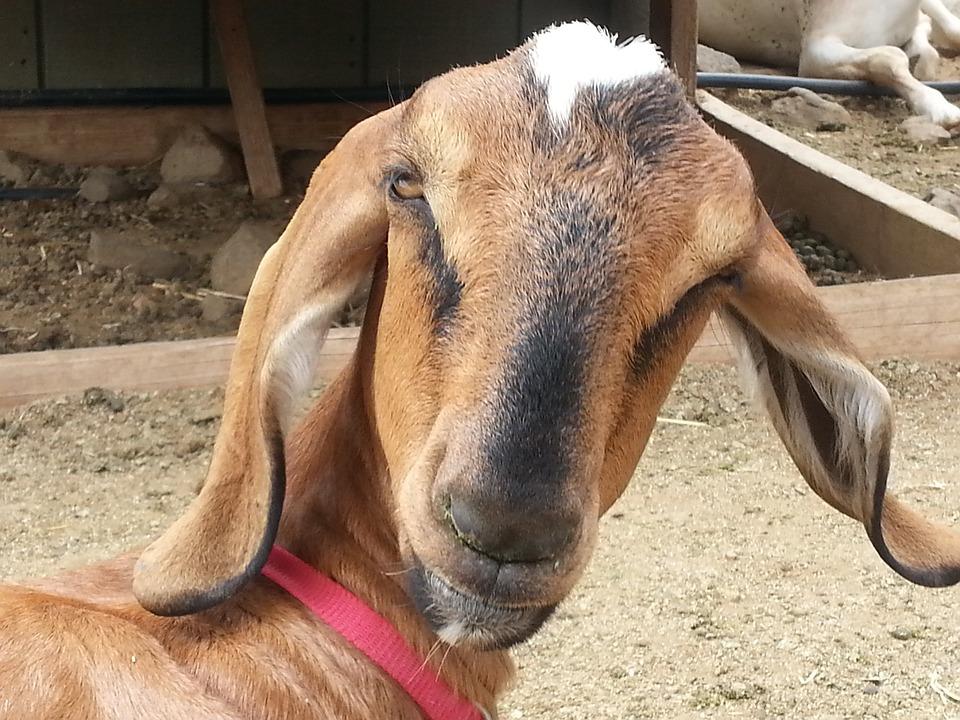 Free Photo Goat Long Ears Surprised Ears Free Image