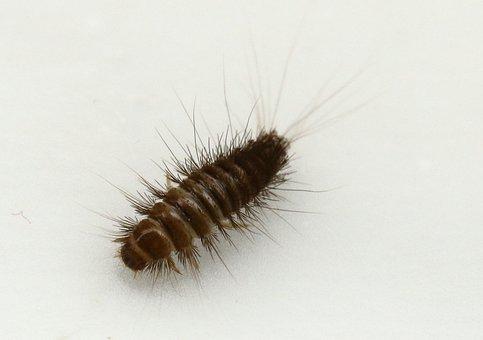 Dermestidae, Anthrenus, Speckkäfer