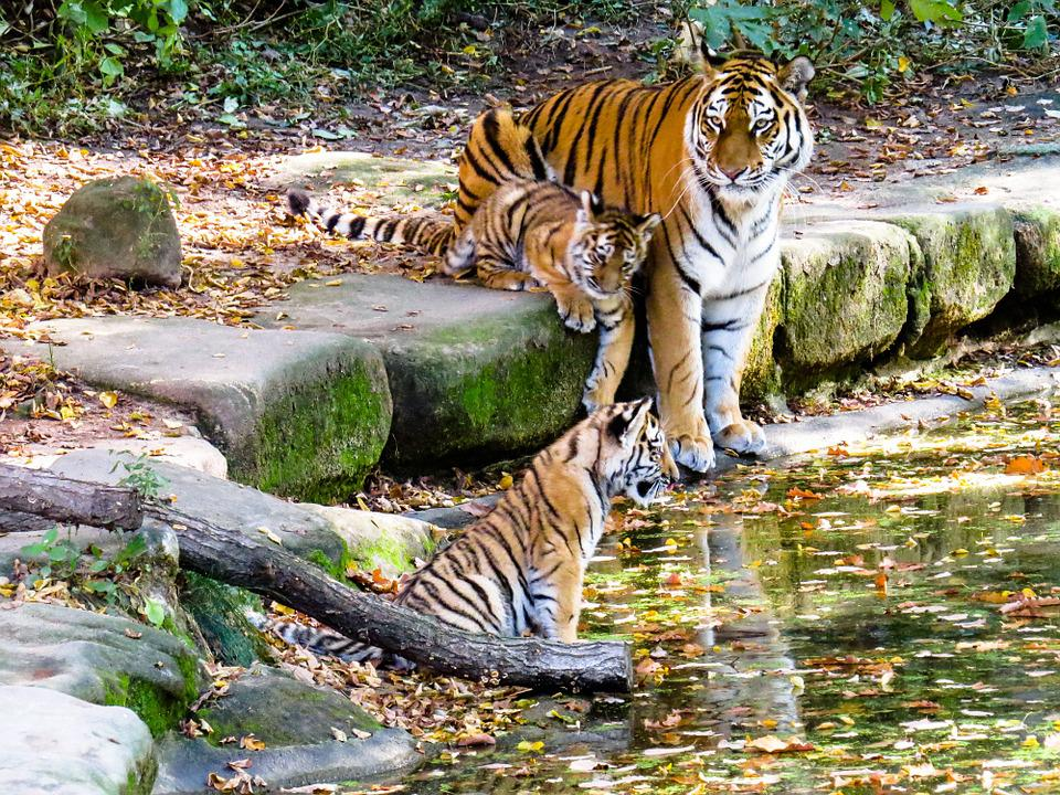 Tigre, Tiger Cub, Lindo, Nuremberg, Zoológico, El Agua