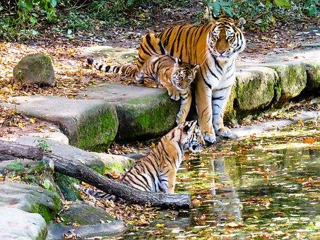Tiger, Tiger Cub, Cute, Nuremberg, Zoo