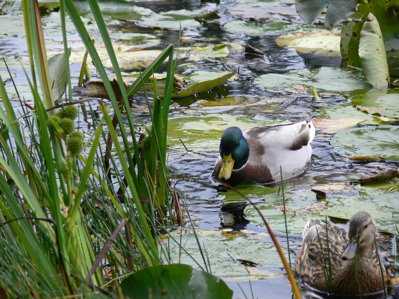 утки на пруду фото длится весны осень