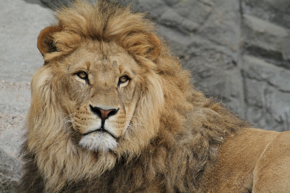the main features of lions Watch classic bbc clips about lions: lion cubs, african lions, hunting lions and even lions in love.