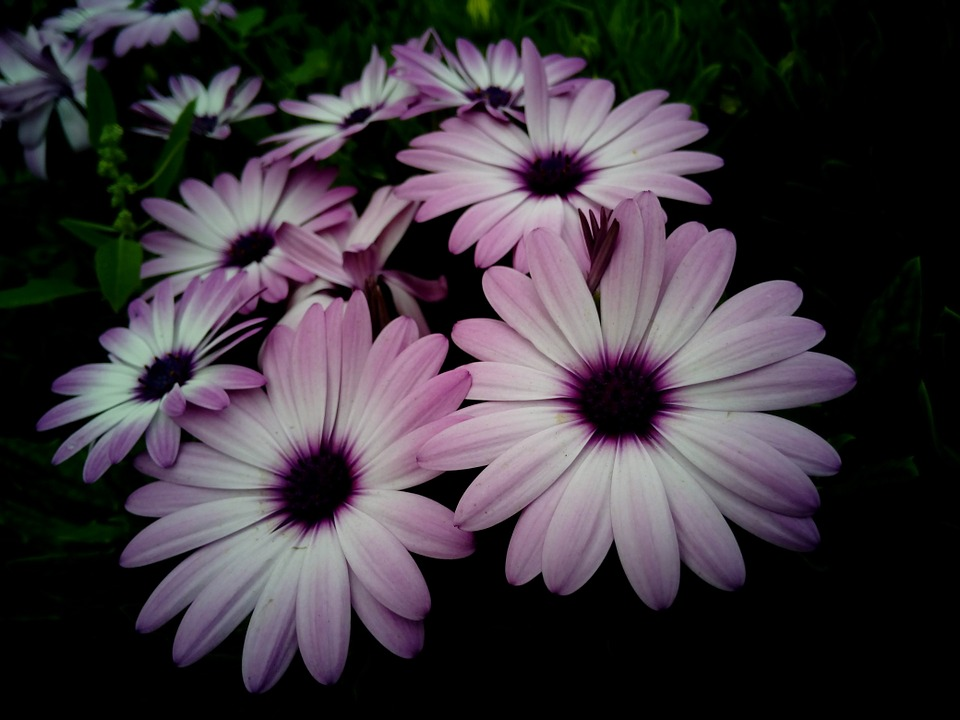 free photo dimorfoteca, cape daisy, flowers  free image on, Beautiful flower