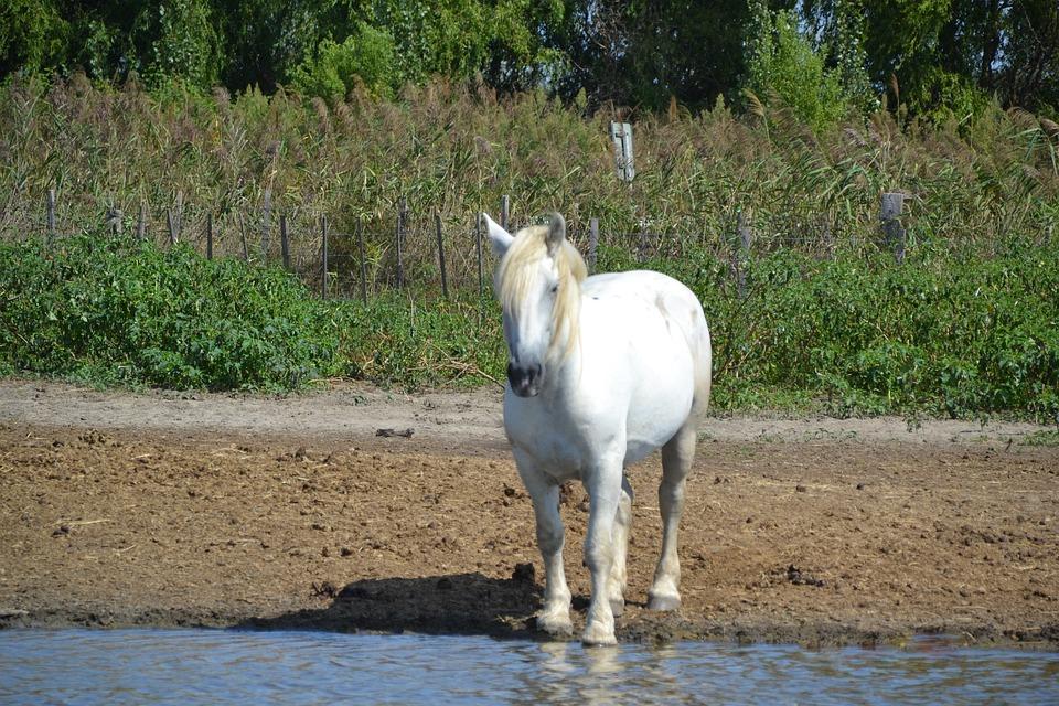 Photo gratuite camargue animaux blanc cheval image gratuite sur pixabay 990980 - Image animaux gratuite ...