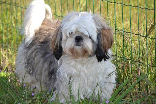 Shih Tzu, Animals, Petit, Dog, Furry
