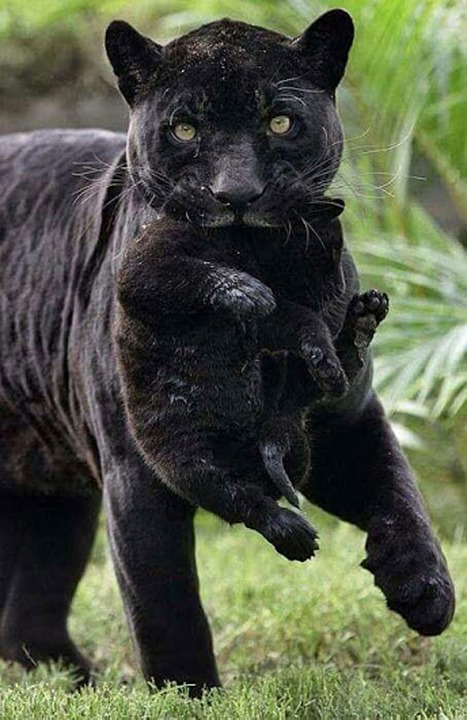 cat black wild free photo on pixabay