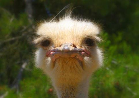 Ostrich, Animal, Nature, Wildlife, Beak