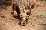 camel, bored, dusty
