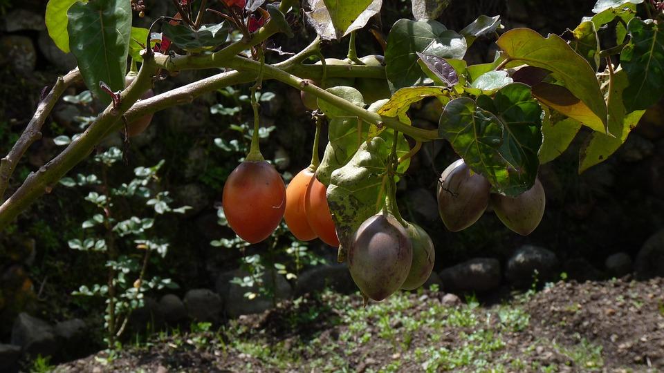 como plantar tamarilho na horta