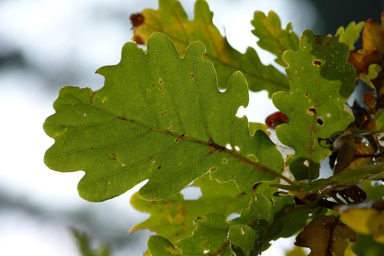 запуска программы, дубовые листья осенние фото одного
