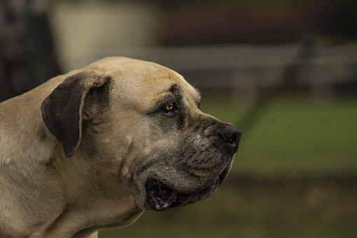 Boerboel, Bulldog, South, African