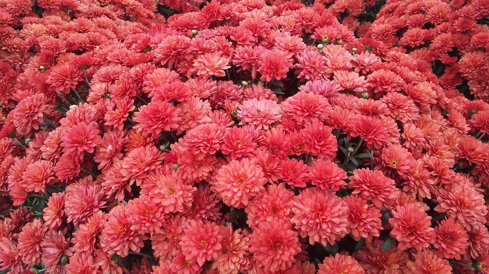 Free photo Floral Garden Fall Flower Mums Free Image on