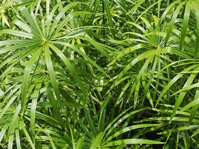 Photo gratuite papyrus plante verte feuilles image for Plante 9 feuilles
