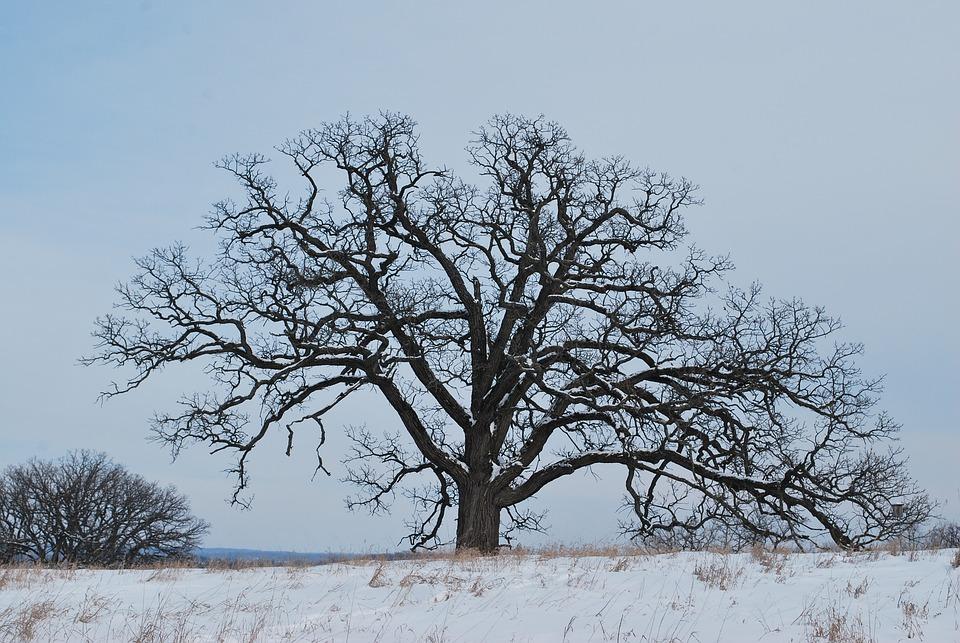 Oak Tree, Winter, Snow, Tree, Oak, Silhouette