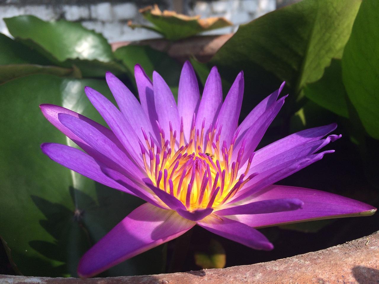 необитаемом острове лотос фото лиловый цветоводстве пользуется популярностью