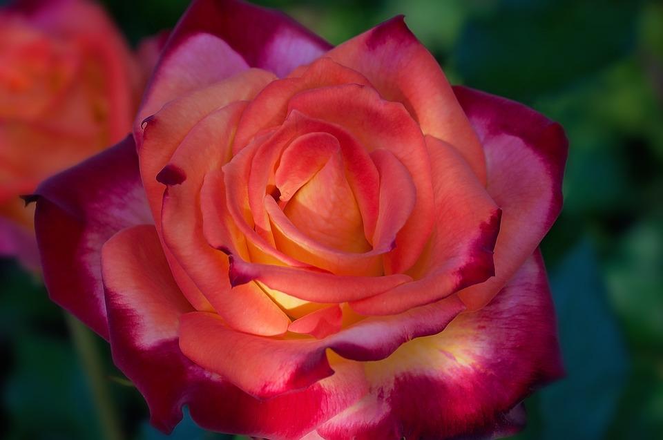rosa naranja rojo flor foto gratis en pixabay