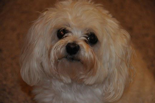 Maltese Poodle, Dog, Pet, Face