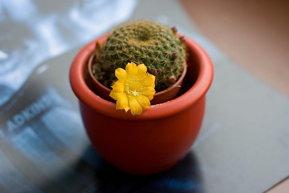 cactus fleur jaune pot de photo gratuite sur pixabay. Black Bedroom Furniture Sets. Home Design Ideas