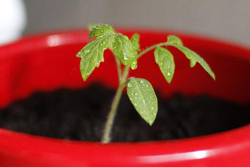 トマト, 苗, 植物, シード, エンジン, 赤いポット, 緑の植物