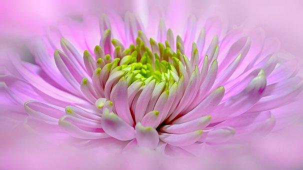 Dahlia, Pink, Close, Pano, Blossom