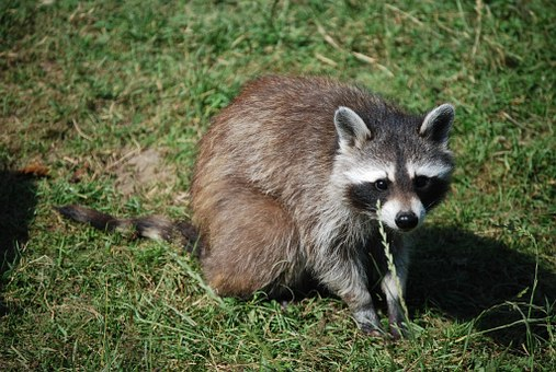 Raccoon, Cute, Wildlife Park