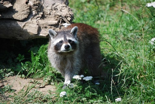 Raccoon, Wildlife Park, Cute