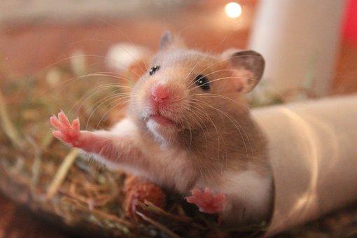 Hamster, Animal, Rodent, Hamster