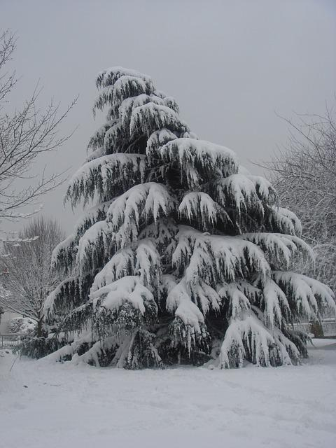 Free photo tree snow pine tree christmas free image - Images of pine trees in snow ...