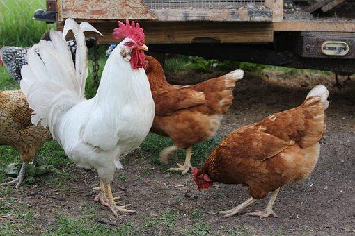 Rooster, Chicken, Hen, Peck, Farming