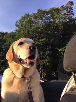 Dog In The Car, Laughing, Labrador, Pet