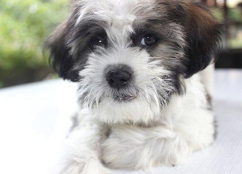 Puppy, Chicko, Dog, Pet, Cute, Flu