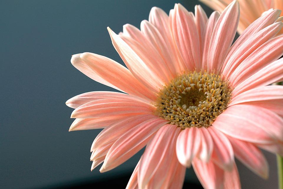 gerbera, daisy  free images on pixabay, Beautiful flower