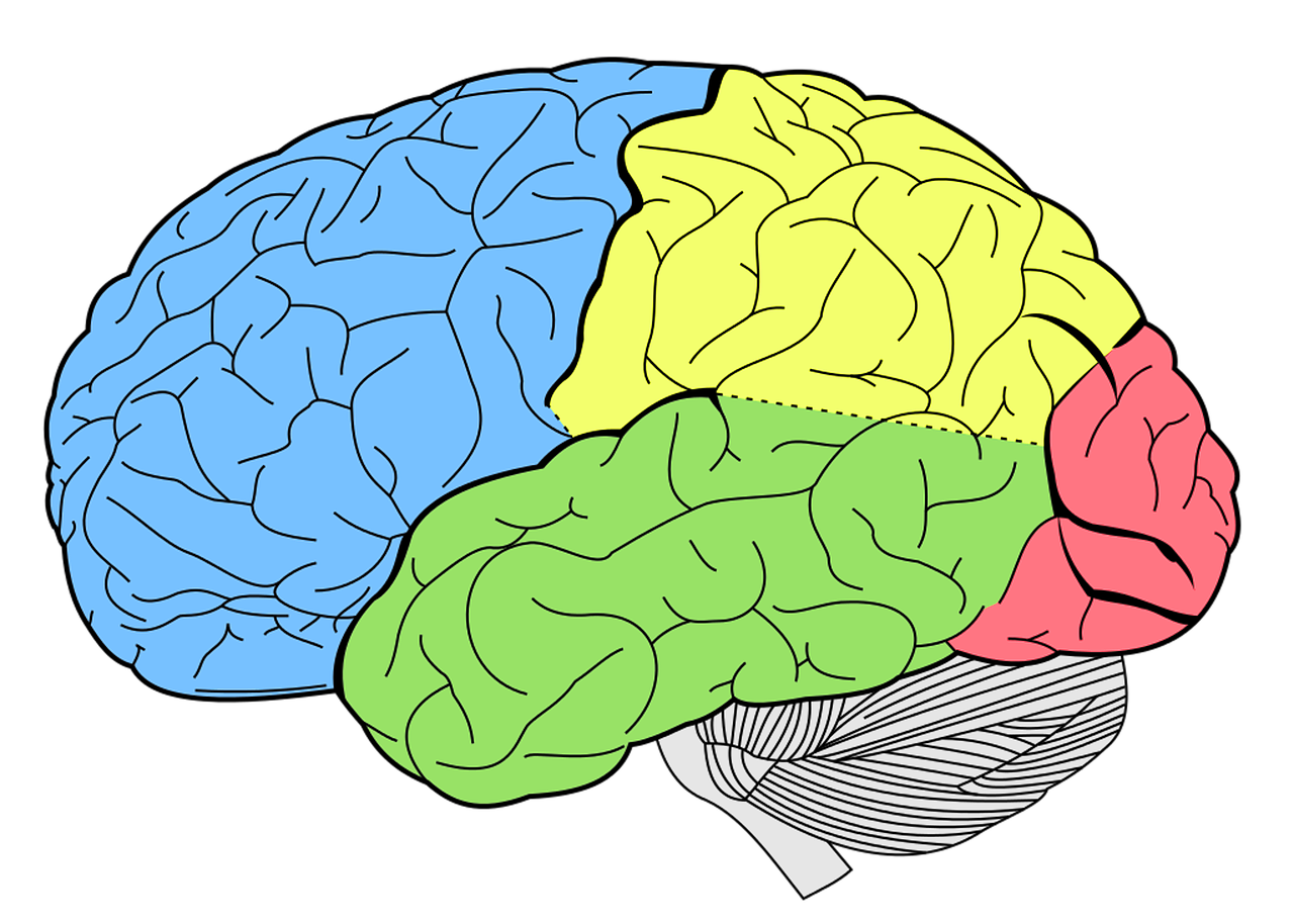 homunculus hersenen