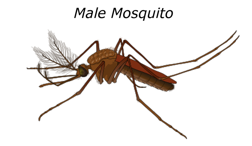 Hommes, Mosquito, Paludisme, Scarabée, Insecte