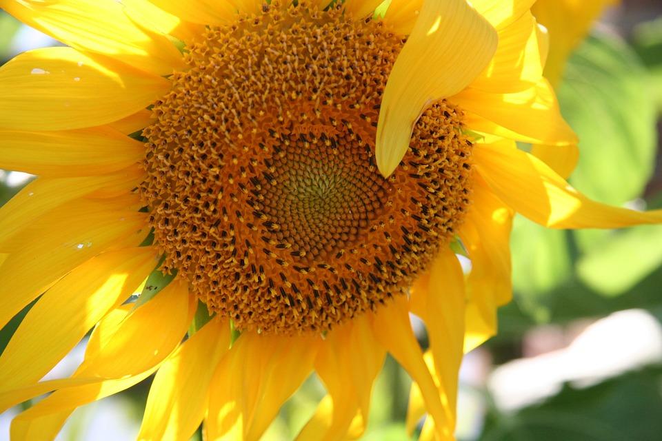 Kostenloses Foto Sonnenblume, Herbst, Blume  Kostenloses