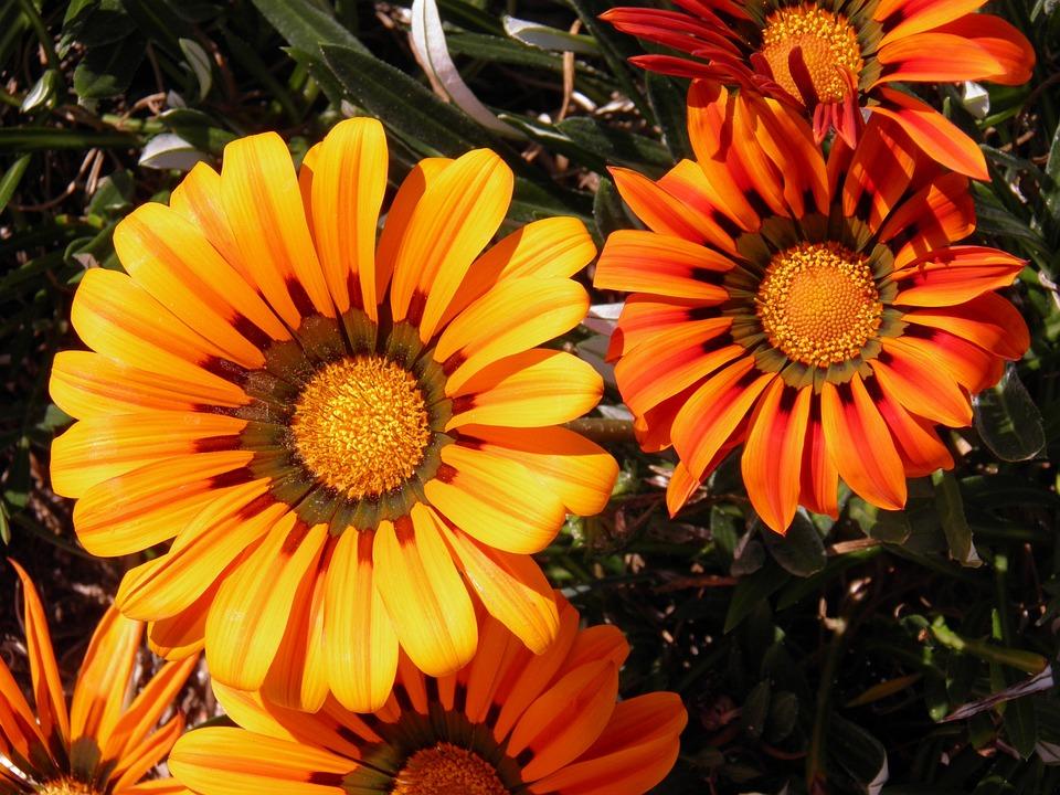 Fiori Tipo Margherite.Margherite Fiore Orange Foto Gratis Su Pixabay