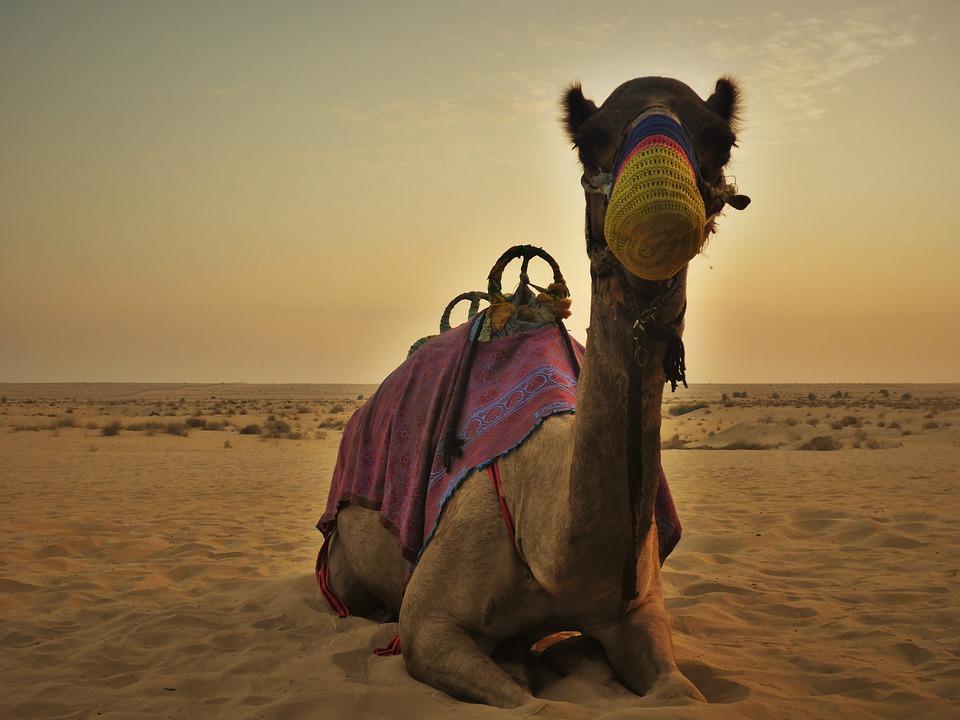Camel dubai desert u a free photo on pixabay camel dubai desert u a e thecheapjerseys Choice Image