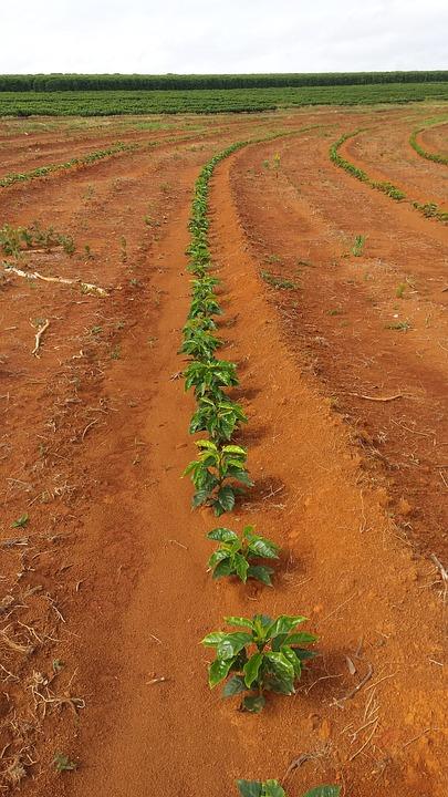 Coffee, Plant, Nature, Farm, Roça, Brazil, Minas